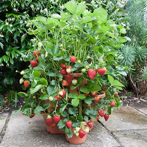 Strawberry Planters Uk by 3 Tier Strawberry Planter Pomona Fruits Buy Fruit Trees