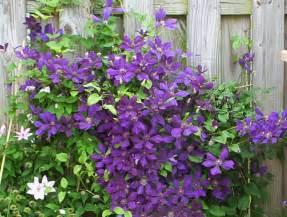 my garden clematis