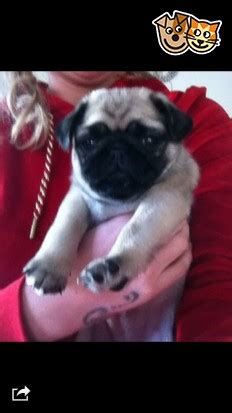 pugs for sale wigan 3 4 pug x pekingese for sale wigan greater manchester pets4homes