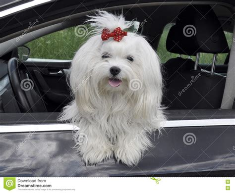 puppy in the window maltese in the car looking out the window stock photo image 73561922