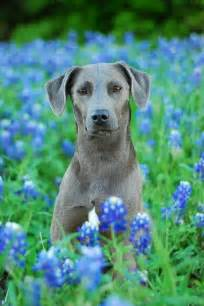 state dogs blue lacy state in dogs