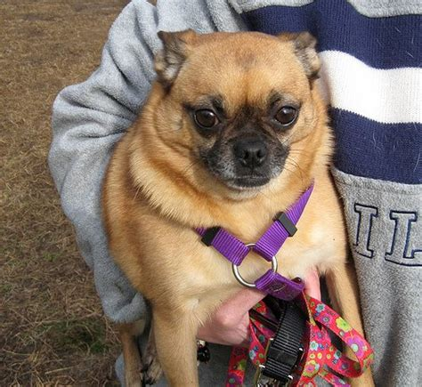 black pug chihuahua mix chug chihuahua pug mix info temperament grooming pictures
