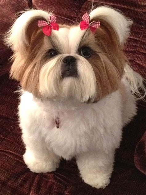 shih tzu hair bows 25 best ideas about hair bows on diy bow ribbon hair bows and bows