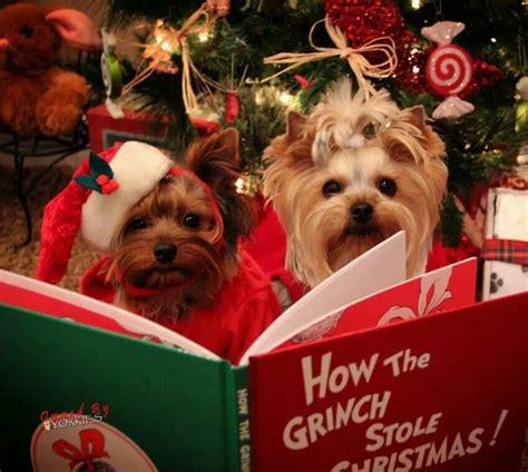 images of christmas yorkies yorkie christmas reading i yorkies pinterest