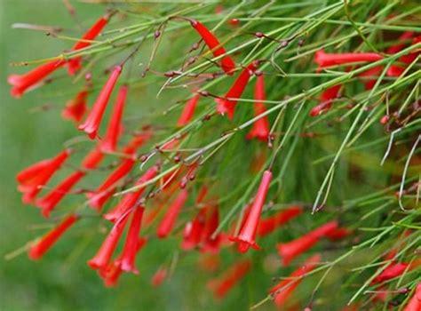 Bibit Bungatanaman Jadi Air Mancur Putih kumpulan nama bunga lengkap dari a z beserta gambar dan penjelasannya bibit