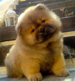 chow puppies 25 best ideas about chow chow puppies on chow