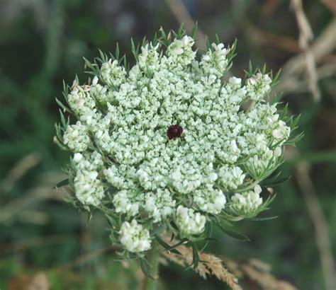 fiore commestibile accademia delle erbe spontanee la carota selvatica
