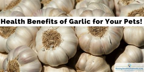is garlic bad for dogs health benefits of garlic is garlic toxic to dogs and cats raising your pets