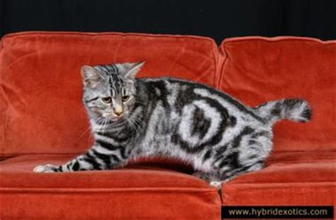Lynx House Cat by Image Gallery Lynx House Cat