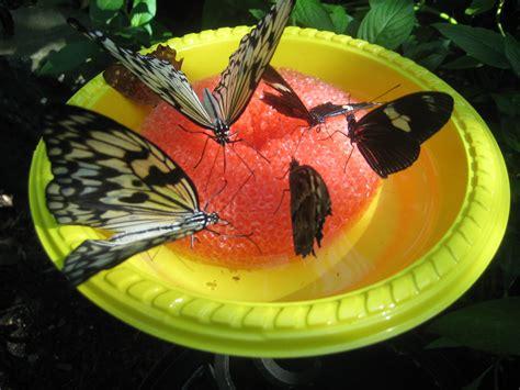 sulpher butterflies beyondbones