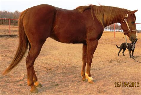 nice hourse sliding k ranch quality western performance horses for sale