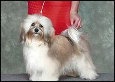 havanese puppies canada havanese breeders canada s guide to dogs breeds