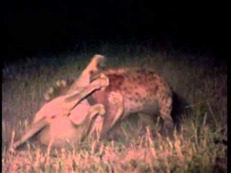 film lion vs hyena download video male lion mauls hyena