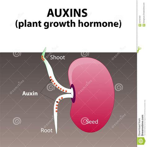 Hormon Auxin auxins plant hormone stock photo image of germinating 64152402