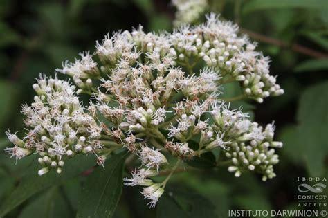 kirinyuh eupatorium inulifolium kunth eupatorium inulifolium tumbuhan invasif tapi bermanfaat