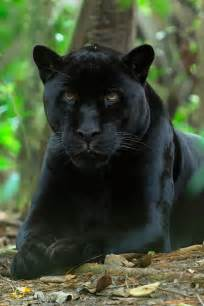 Jaguar Panther Black Panther Black Panther Hintergrundbilder