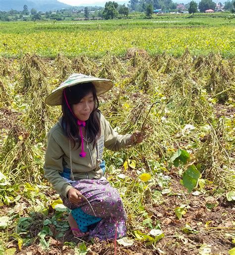 Can Soybeans Be Planted To Detox Land by Winrock International 187 Burma S Soybean Farmers Find New