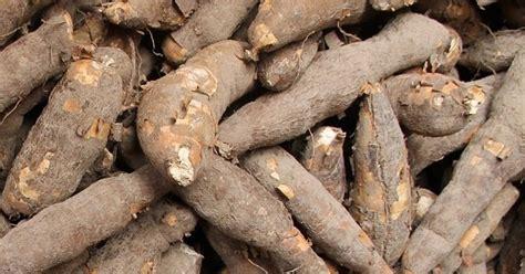 Bibit Ubi Kayu cara menanam budidaya ubi kayu singkong pertanian