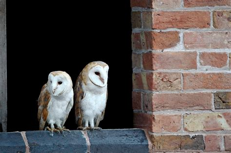 beautiful barn owls craig jones wildlife photographer