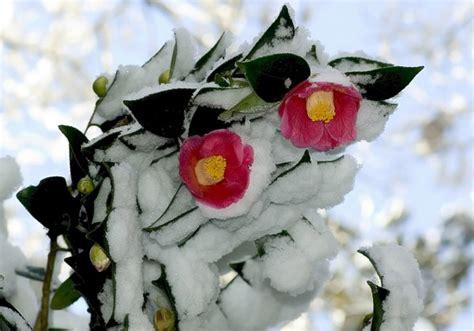 fiori in inverno quali sono i fiori da coltivare in inverno letteraf