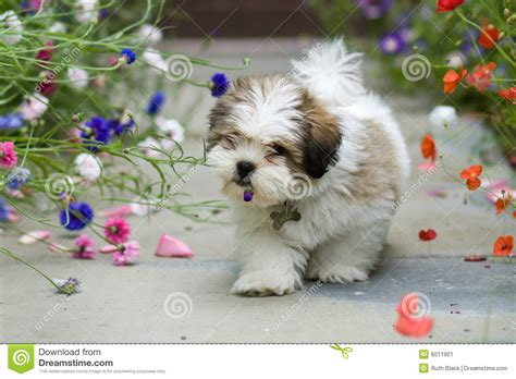 Do Lhasa Apso Shed by Lhasa Apso Puppy Stock Photo Ruth Black 2262543