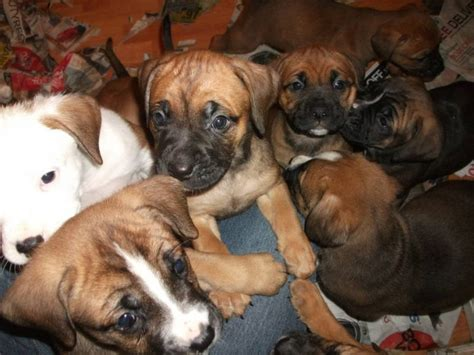 boxer bullmastiff mix puppies for sale pin purebreed boxer x bullmastiff puppies cessnock nsw pets for sale on