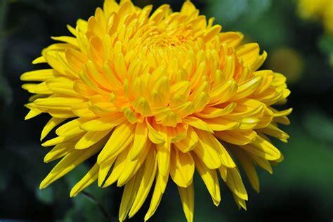 fiori dente di dente di significato linguaggio e simbologia