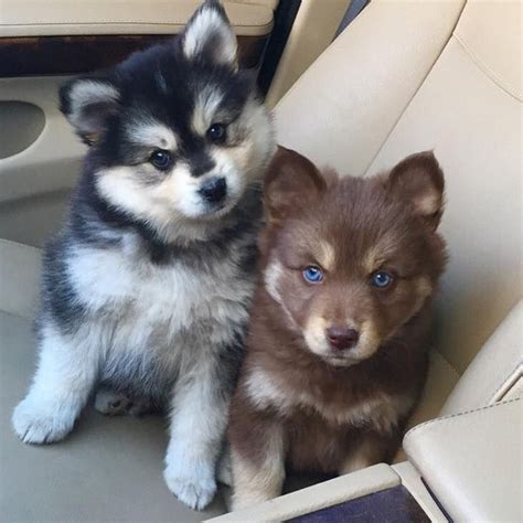 pomsky pomeranian best 25 pomsky puppies ideas on pomsky fluffy puppies and puppies with