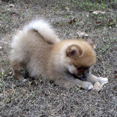 cheap pomeranians pomeranians for sale in all states breeds picture