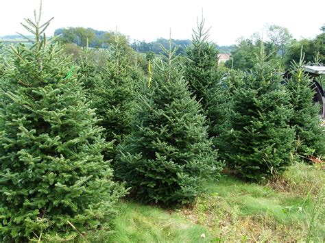 real christmas trees brisbane families magazine