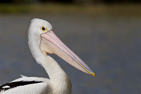 australian pelican facts diet habitat information