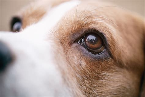 dogs eye is differences between cataracts and lenticular sclerosis woodbury veterinary hospital