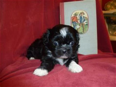 shih tzu puppies for sale melbourne shih tzu puppies for sale now melbourne dogs for sale puppies for sale melbourne