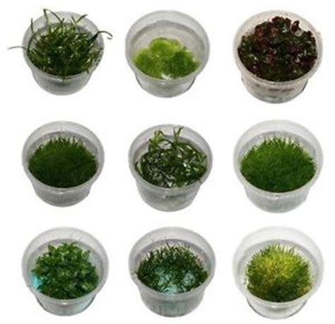 aquascape plants list tissue culture live aquarium plants in 60mm cup in vitro aquascaping tank ebay