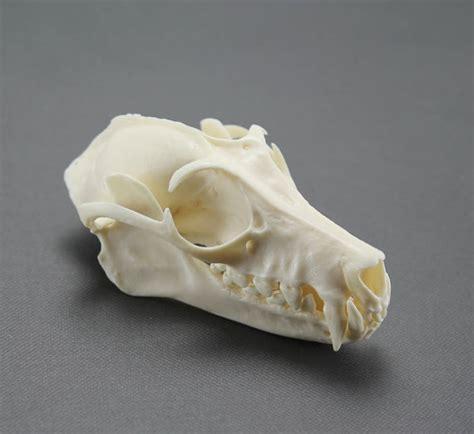 imitation le pipistrello replica di cranio pipistrello volpe volante