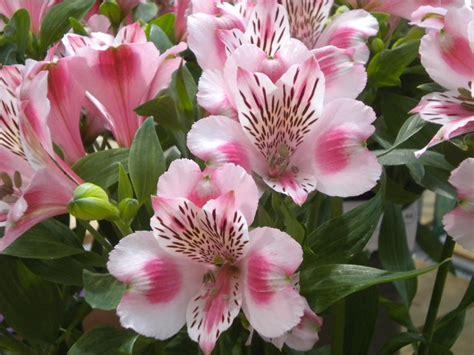 fiori di sanremo alstroemeria moltitudine di colori fiori di sanremo