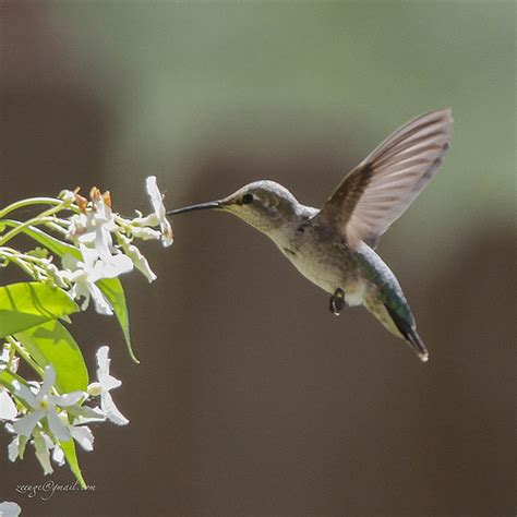hummingbird drinking nectar from jasmine flickr photo