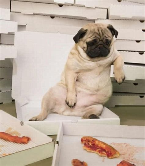 can dogs eat pizza dogs pizza damn cool pictures