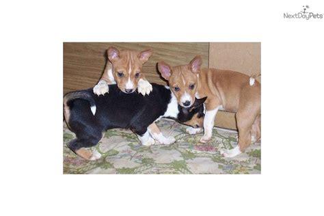 basenji puppies price basenji puppy for sale near colorado springs colorado fe070710 cf41