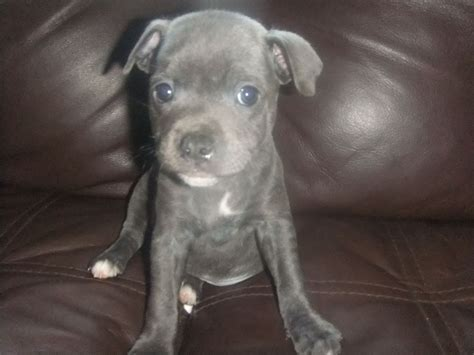 staffordshire terrier puppies blue staffordshire bull terrier puppies leiston suffolk pets4homes