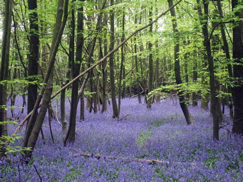 Wood From The Uk by Enchanted Forests Carpeted In Beautiful Bluebells