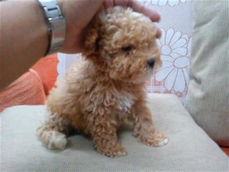 teacup basset hound puppies 25 best ideas about tea cup poodle on teacup poodle puppies micro poodle