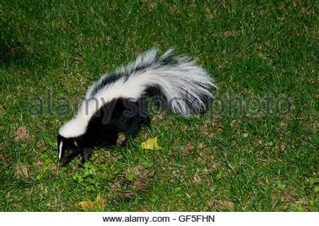 skunk in backyard skunk in backyard stock photo royalty free image