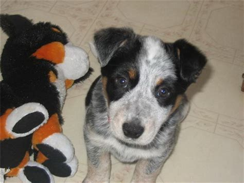 blue heeler mix puppies for sale beagle blue heeler mix puppies dogs breeds picture