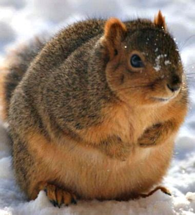 Best 25  Fat squirrel ideas on Pinterest   Amy squirrel