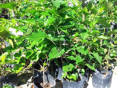 Sekam Padi Bakar Untuk Dijual bumi hijau nursery 002279488 d pokok markisa