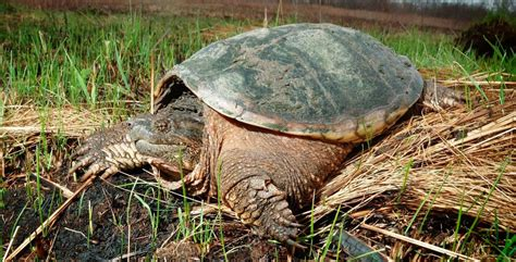 Ficha De Cuidados Tortuga Lagarto O Mordedora | tortuga mordedora cuidados tortuga mordedora cuidados