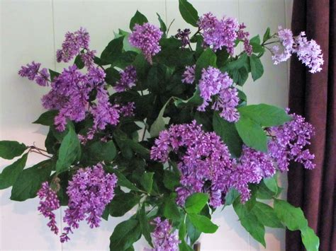 fearless nesting late blooming lilacs