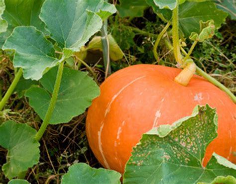Blue Pumpkins Fruit Cutters And Pretty Stuff by How To Grow Pumpkins Growing Pumpkins And Squash