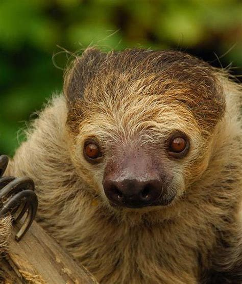 sloth going to the bathroom sloth going to the bathroom 28 images two toed sloth